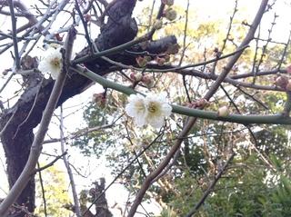 公会堂桜.JPG