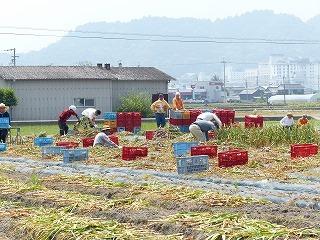 P1010535にんにく収穫02.jpg