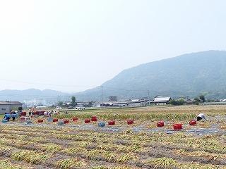 P1010536にんにく収穫03.jpg